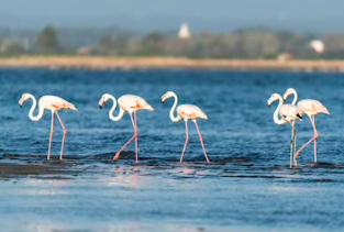 Flamingos on the banks of the Ria de Aveiro